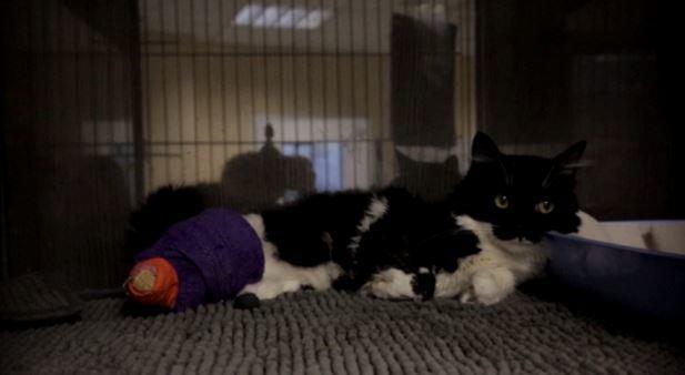 ВБолгарии бездомному коту-инвалиду вживили титановые протезы