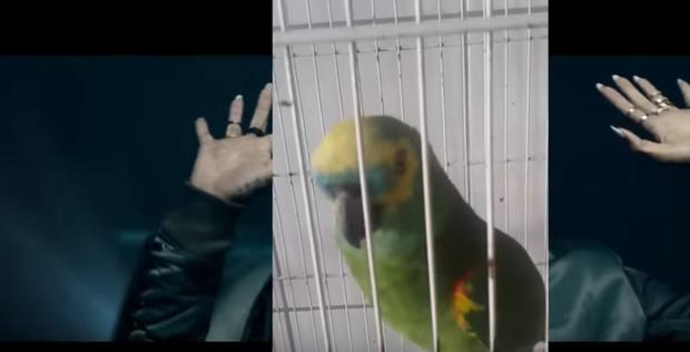 Исполнивший песню Эминема иРианны попугай стал звездой интернета