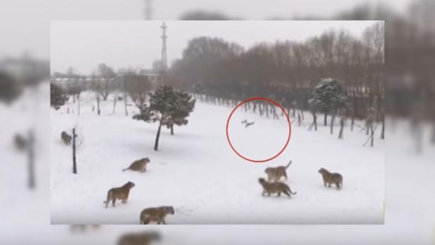 Упитанные амурские тигры сбивают квадрокоптер