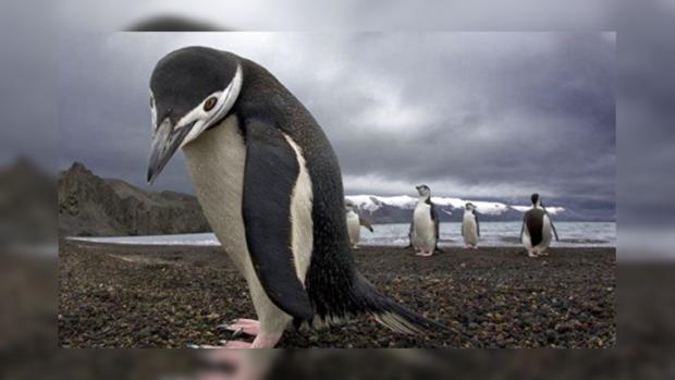 Ученые отыскали останки древнего гигантского пингвина, жившего сдинозаврами
