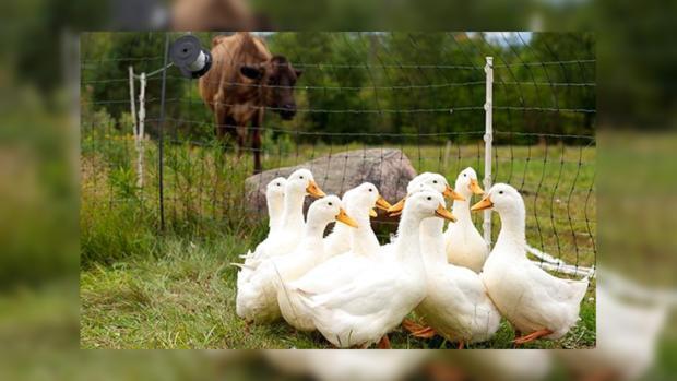 Эпидемия птичьего гриппа наТайване: выявлено 5 новых вспышек заболевания