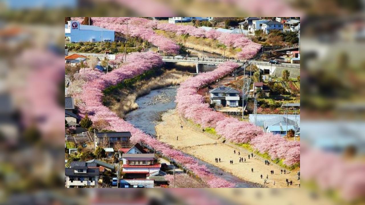 ВЯпонии доэтого срока расцвела сакура— Весна напороге