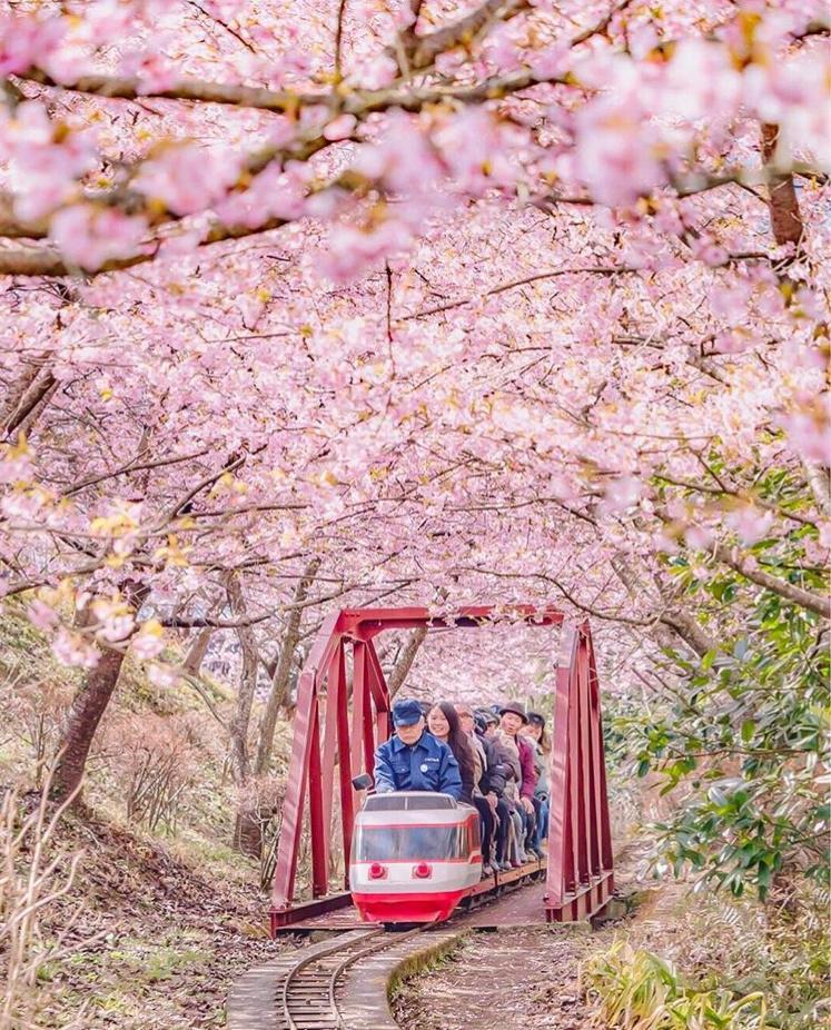 ВЯпонии зацвела сакура— Страна весеннего солнца