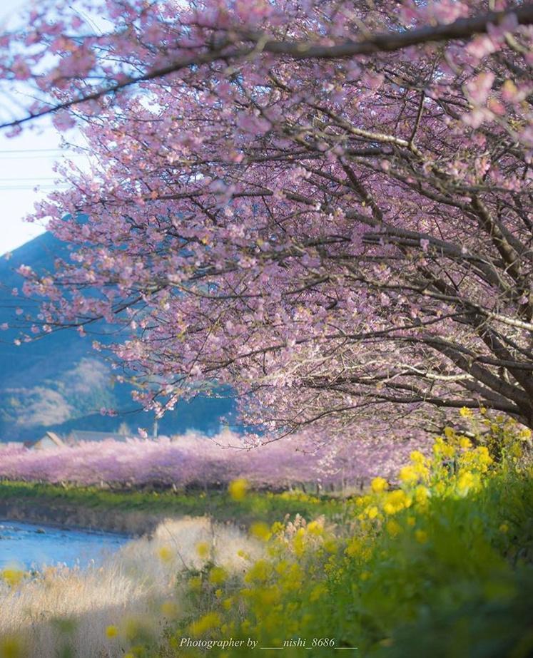 Сакура вЯпонии зацвела намесяц ранее