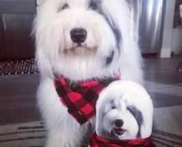 Новая звезда Интернета: очень пушистый пес пленит ваше сердце