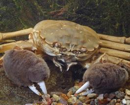 Невероятно, но факт: в Днепре появились два вида крабов из Китая и Голландии