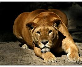 Сафари в Прилуках: в огороде местного жителя застрелили львицу