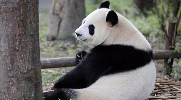 ВКитайской народной республике переселят 172 тыс. человек, чтобы построить парк для панд