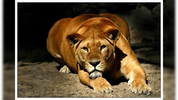 НаЧерниговщине львица напала насмотрителя и убежала изцирка