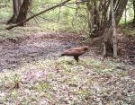 Еще одна краснокнижная птица — малый подорлик.