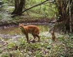 Самка рыси пришла на водопой с котенком.