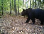 В 30-километровой зоне появились даже медведи, которых в здешних краях не было более 100 лет!