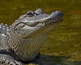 Гигантский аллигатор нашел новый дом в загородном бассейне