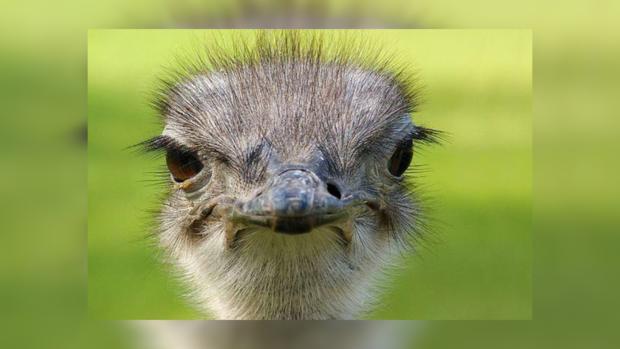 Разъяренный страус напал намужчину наферме вЮАР
