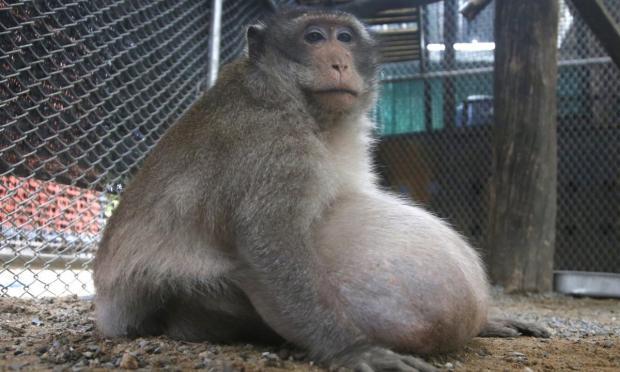 Раскормленной туристами макаке в Таиланде прописали строгую диету