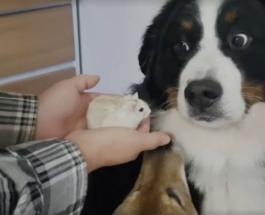 Смешное видео о том как большой пес насторожился при виде хомячка