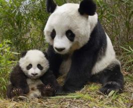 Забавное видео про животных: мама-панда умело избавилась от назойливого детеныша