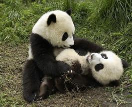 «Винни-пух из Китая»: Неуклюжий детеныш панды рассмешил Интернет