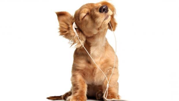 Пёс сорвал овации вовремя выступления симфонического ансамбля вТурции