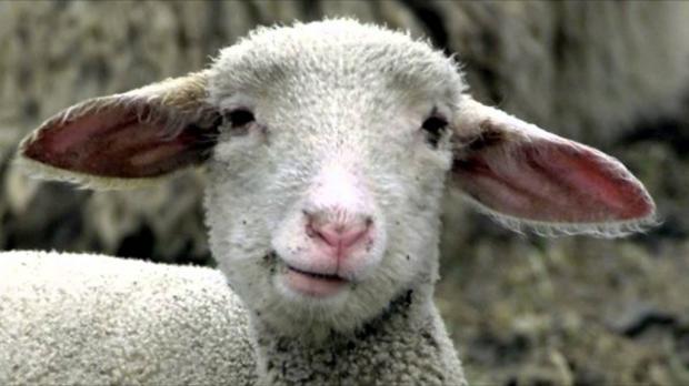 """80 овец совершили """"массовое самоубийство"""" в Турции"""