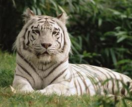 Чудо в Запорожье: бенгальская тигрица заставит ученых всего мира переписать энциклопедии