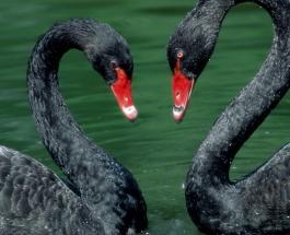 Чудеса в Германии: Черный лебедь обрел пару через раздел знакомств в СМИ