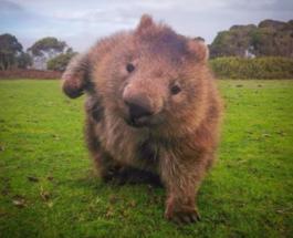 Смешные фото животных: как в Сети поглумились над агрессивным вомбатом