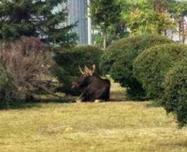 В Киеве наделал переполоху огромный лось
