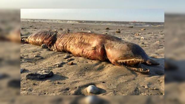 Неизвестное существо склыками найдено на береге Техаса после урагана Харви