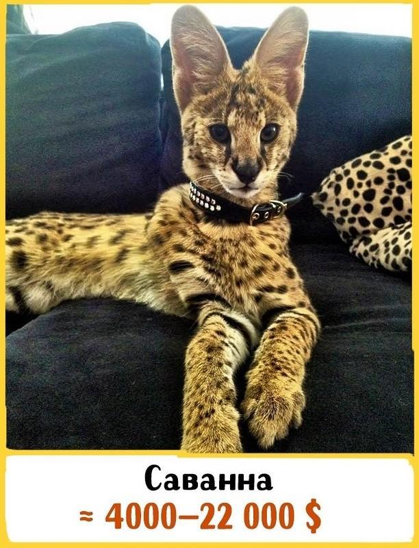Самые дорогие котята в мире фото цены