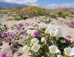 Калифорния, США — цветущая пустыня