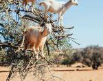 Марокко — «летающие» козы