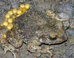 Жаба и лягушка