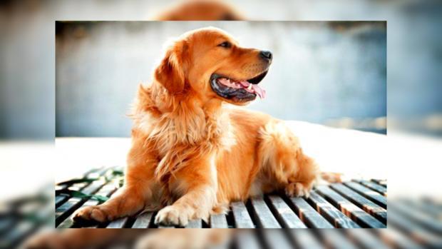 Картинки по запросу Год Желтой Земляной Собаки