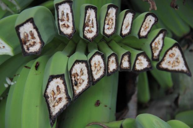 Новый штамм грибка может на100% убить банановые плантации напланете— специалисты