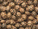 Мадагаскарская клювогрудая черепаха — самая редкая черепаха в мире