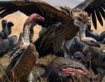 Африканские грифы предупреждают об атаках браконьеров. Именно поэтому на них открыта смертельная охота