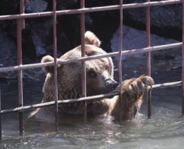 Зоозащитники освободили медведиц проживших в неволе в армянском ресторане 10 лет