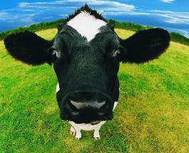 Видео хит недели: перевозка коровы в легковом автомобиле взорвала Интернет