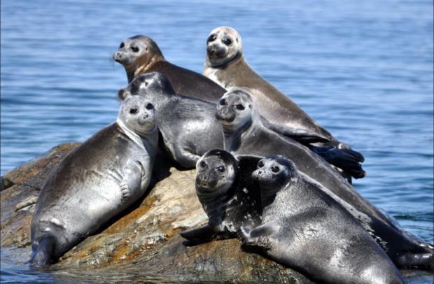 Массовое вымирание нерпы зафиксировано наозере Байкал: ученые ищут причины