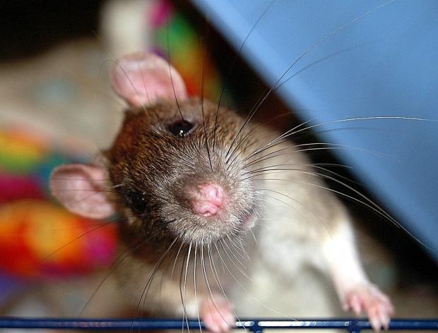 Крыса ввагоне нью-йоркского метро вызвала панику упассажиров