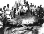 Мексиканский залив, 1945 год, вес акулы неизвестен