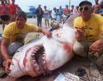 1964 год, вес акулы - 2041 кг.