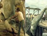 Остров Принца Эдуарда, 1983 год. Вес акулы неизвестен.