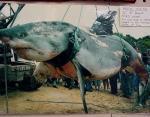 Остров Филиппа, 1970 год, вес акулы 2306 кг