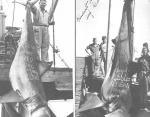 Австралия, 1959 год. Вес акулы - 1208 кг.