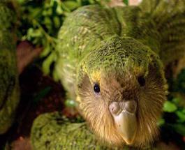 Видео с совиным попугаем бьет рекорды просмотров: птица попыталась спариться с человеком