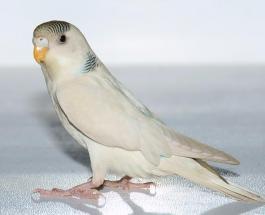 Смешное видео: попугай категорически не согласен с предложенной ему диетой