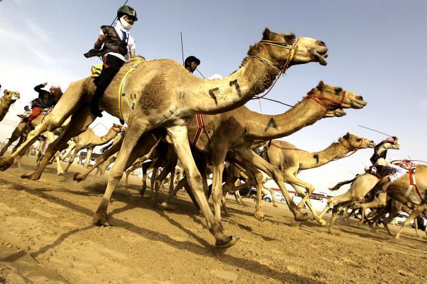 верблюжий марафон