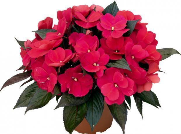 Комнатные цветы по фэн-шуй